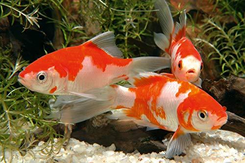 sera 07075 pond flakes 3800 ml - das lange schwimmende Flockenfutter für kleinere Teichfische - 9