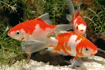 sera 07102 pond mix royal 3800 ml - Futtermischung aus Flocken, Sticks und mit 7 % Gammarus als Leckerbissen für alle Teichfische - 7